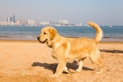 Golden retriever puppy on the golden sands of Qingdao. Bathing beach N3 Stock Photography