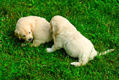Golden retriever puppy in the grass Royalty Free Stock Photography
