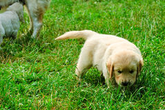 Golden retriever puppy in the grass Stock Photography