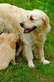 Golden retriever puppy in the grass Royalty Free Stock Photos