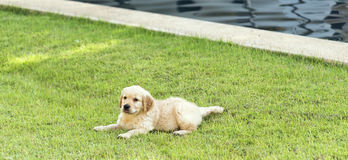 Golden retriever puppy on the green grass Stock Images