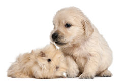 Golden Retriever puppy and guinea pig Stock Images