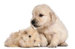 Golden Retriever puppy and guinea pig Stock Images