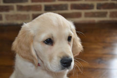 Golden retriever puppy. Head shot of Golden retriever puppy at 10 weeks old Royalty Free Stock Photos