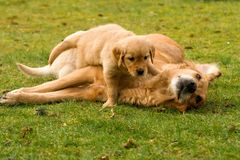 Golden retriever puppy with his mother Stock Image
