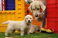 Golden retriever puppy with his mother and toys. In garden house royalty free stock images