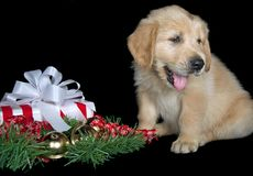 Golden retriever puppy with holiday gift Stock Images