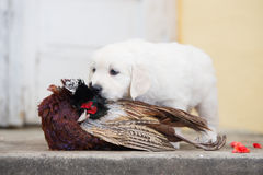 Golden retriever puppy with hunted pheasant Stock Image