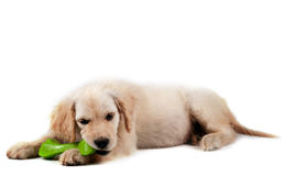 Golden retriever puppy isolated Royalty Free Stock Image