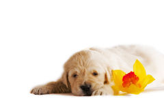 Golden retriever puppy isolated with orchid Royalty Free Stock Image