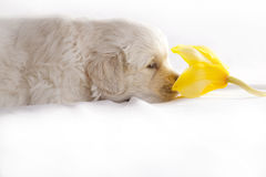 Golden retriever puppy isolated on white Stock Images