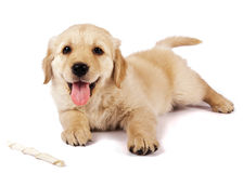 Golden retriever puppy. Isolated on white with a chewstick Royalty Free Stock Images