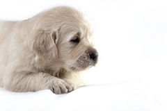 Golden retriever puppy isolated on white backgroun Royalty Free Stock Image