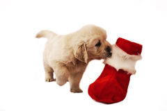 Golden retriever puppy isolated on white with chri Stock Images