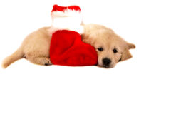 Golden retriever puppy isolated on white with chri Royalty Free Stock Photo