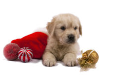 Golden retriever puppy isolated on white with chri Stock Photo