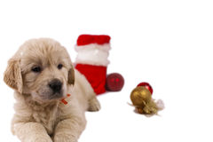 Golden retriever puppy isolated on white with chri Royalty Free Stock Images