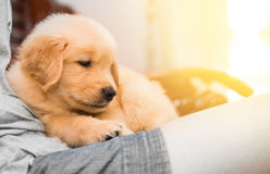 Golden retriever puppy with its owner Stock Images