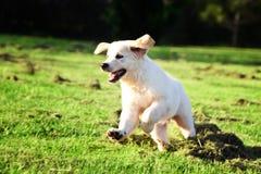 Golden retriever puppy jumping in the grass stock photos