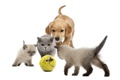 Golden retriever puppy a kittens walking towards tennis ball Royalty Free Stock Photography