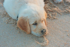 Golden Retriever puppy laying in sand. Golden retriever puppy laying on beach after playing with sand tired Stock Images