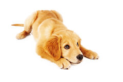 Golden Retriever Puppy Learning Down Command Royalty Free Stock Images