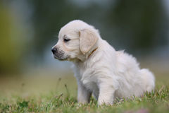 Golden retriever puppy looking away from camera Stock Photography