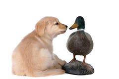 Golden retriever puppy looking at a duck decoy. Cute golden retriever puppy smelling a duck decoy royalty free stock photos
