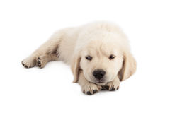 Golden Retriever Puppy Looking Irritated Royalty Free Stock Image