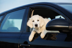 Golden retriever puppy looking outside of a car window Stock Photo