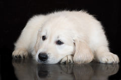 Golden retriever puppy lying down on black Stock Images