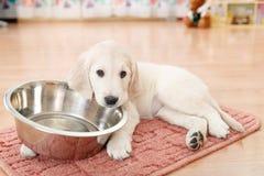 Golden retriever puppy Stock Image