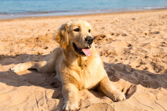 Golden retriever puppy lying on the golden sands of Qingdao. Bathing beach N3 Stock Images