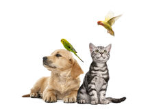 Golden retriever puppy lying with a Parakeet perched on its head Stock Image