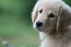 Golden Retriever Puppy. 4 month old Cream colored Golden Retriever Puppy looking at camera royalty free stock photos