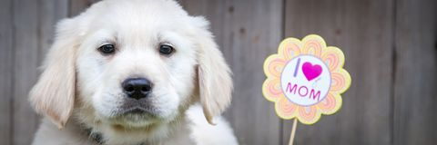 Golden Retriever Puppy On Mothers Day royalty free stock photos