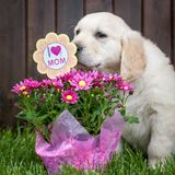 Golden Retriever Puppy On Mothers Day stock image