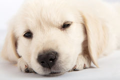 Golden Retriever Puppy Napping Royalty Free Stock Image