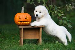 Golden retriever puppy with a carved pumpkin outdoors. Golden retriever puppy outdoors in summer royalty free stock photo