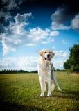 Golden Retriever. Puppy in park Stock Photos