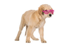 Golden Retriever puppy with pink slot glasses isolated on white Royalty Free Stock Photography