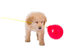 Golden retriever puppy playing with balloon Royalty Free Stock Photo