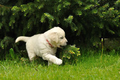 Golden retriever puppy playing with coniferous tree. In park Stock Photography