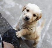 Golden retriever puppy pleading Royalty Free Stock Photos