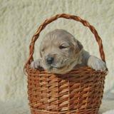 Golden retriever puppy dog portrait Stock Photo