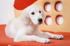 Golden retriever puppy Royalty Free Stock Photo