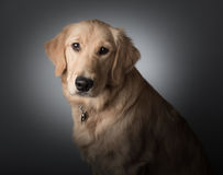 Golden Retriever Puppy Portrait Stock Photos