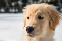 Golden Retriever Puppy Portrait Winter Snow royalty free stock image