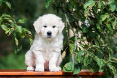 Golden retriever puppy sitting outdoors in summer Royalty Free Stock Photography