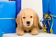 Golden Retriever Puppy Present Royalty Free Stock Photos